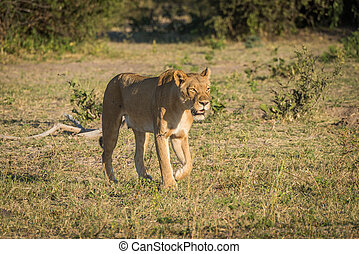 Lioness stalking prey in grassy clearing
