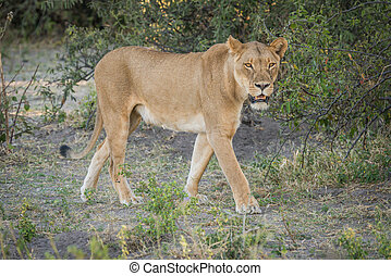 Lioness stalking prey in shade of bush