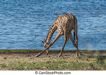 South African giraffe drinking with splayed feet