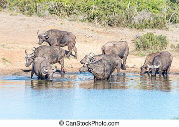 africaine, buffles, boire,