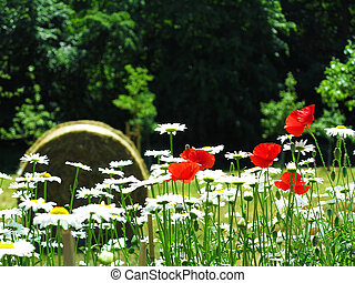 red poppy and marguerite - blooming marguerite, red poppy...