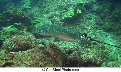 Spotted eagle ray swims on deep, rocky reef. - Spotted eagle...