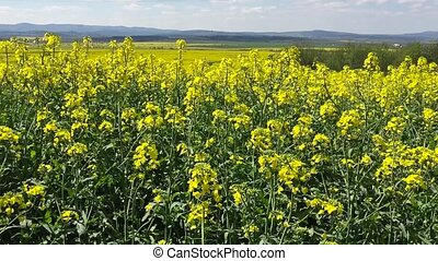 Blooming canola field Rape on the field in summer Bright...