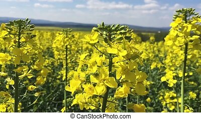 Close up shoot of yellow canola flowers waving on wind