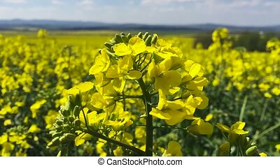 Canola field Slow motion HD
