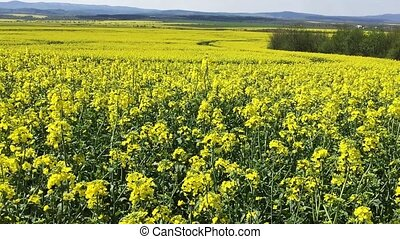 Canola flower, rape crop, background - Canola flower rape...