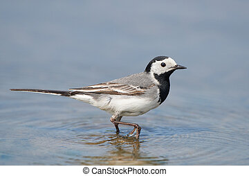White wagtail Motacilla alba - White wagtail walking in...