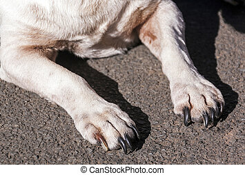 Close up of Black Claws on White Dogs Paws - Close up of...