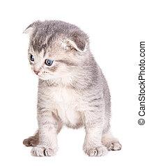kitten isolated on white