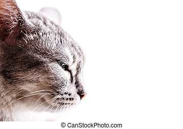 gray cat head isolated on white background