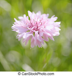 Pink cornflower in pastel colors. Shallow depth of field