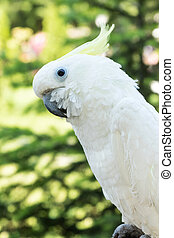 Parrot white cockatoo - Large white cockatoo parrot close-up...