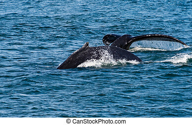 Humpback Breach and Fluke - Humpbacks near Juneau Alaska...