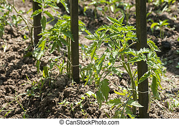 Plant propagation of tomatoes - Plant propagation seedlings...