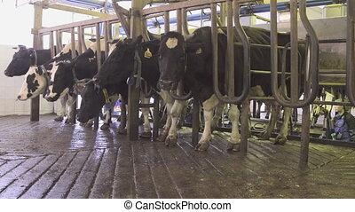 Dairy cows are in a pen in technological area for milking...