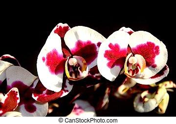 orchid yu pin pearl phalaenopsis - orchid <yu pin pearl> -...