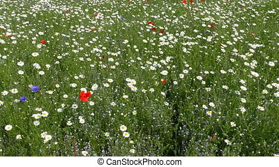 Daisies poppies cornflowers meadow - Colorful summer meadow...