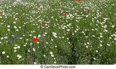 Daisies poppies cornflowers meadow