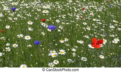Colourful wild flower meadow - Beautiful daisy,cornflower...