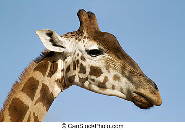 Girrafe - The giraffe is an African even-toed ungulate...