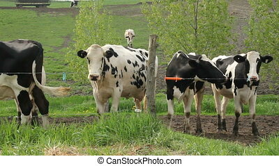 Group of Holstein Friesians cattle breed in the pasture...