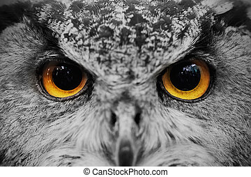 Closeup of owl face ,Carnivorous bird with amber eyes.