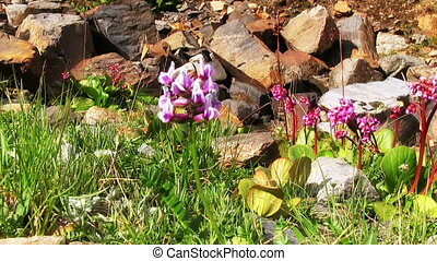 Bergenia Flowers - Bergenia plants on a rocky slope