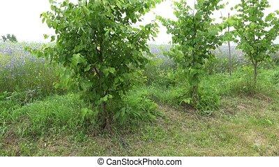 country boy catch smiled girl running around  tree in garden. 4K