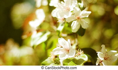 Apple Tree Flowers - Apple tree flowers