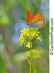 azul, mariposa, flor, común, amarillo