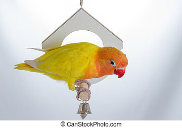Playing Double Yellow Lovebird on white background