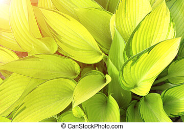 Green leaves of a hosta - Fresh green leaves of a hosta on...