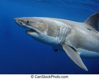 Great White Shark - Beautiful, powerful and amazing looking...