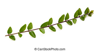 boxwood branch isolated on white background