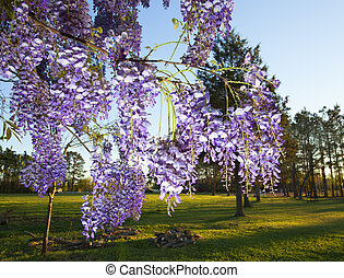 Wisteria - Bunches of wisteria hanging from a tree near a...