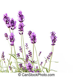 Bunch of lavender. - Bunch of lavender on a white...