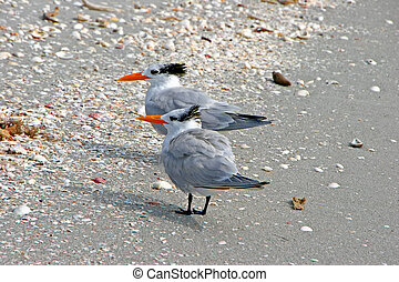 Royal Tern Shorebird on beach Sanibel Florida