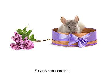 white chinchilla in a basket