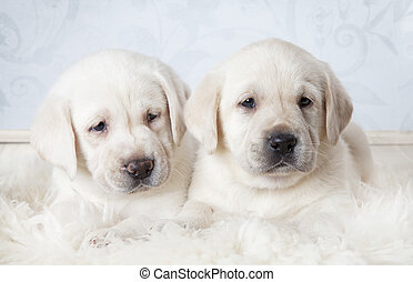 Six weeks old Labrador puppies - Two purebred Labrador...