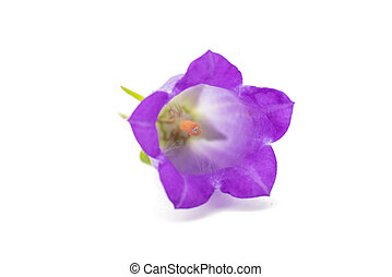 bell isolated - bell flower isolated on white background