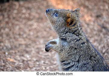 Cute Quokka kangaroo - The Quokka (Setonix), a cute, small...