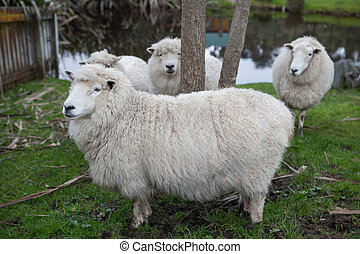 close up new zealand merino sheep in rural livestock farm