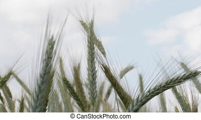 Wheat ears crop