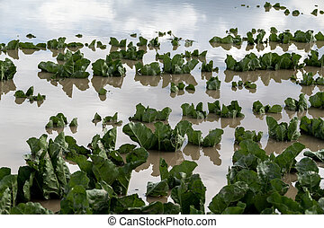 flooded plants in a field after storms - after a heavy rain...