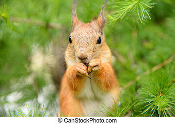 Squirrel in the natural environment - Red squirrel in the...