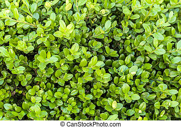fresh leaves on a boxwood - young, fresh leaves on a book...