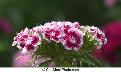 Flower carnation Turkish (Dianthus barbatus). - Flower...