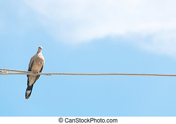 Spotted dove stand on electric wire