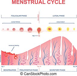 scheme of the menstrual cycle - ovarian cycle phase, changes...