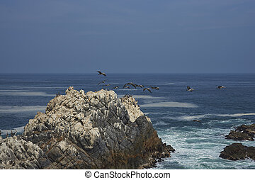 Seabirds on the Coast of Chile - Peruvian Pelicans Pelecanus...